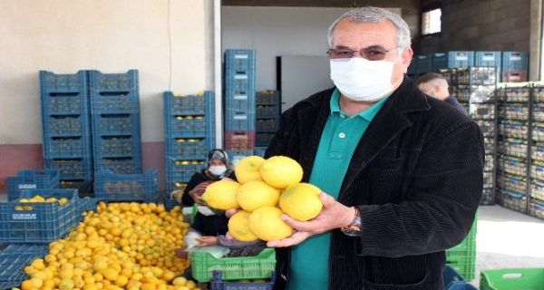 Mersin'de limon hasadı tamamlandı