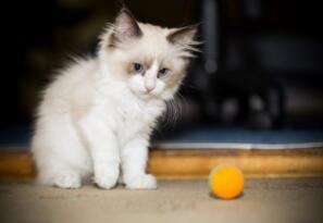 İlk kez kayda geçti: Bir kedi Covid-19 nedeniyle öldü